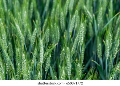 Field of ground barley. Green classes on a pure green background. Selective fokuse. Concept agro culture.
