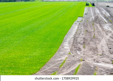 Field with growing high-quality, multi-purpose ryegrass or fescue turf for  healthy, green and hard wearing lawn, turf grass rolls ready for use