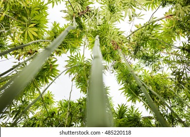 Field of hemp. Industrial kind of this plant is not a drug but a resource. It contains hardly any THC. Marijuana field and sky.