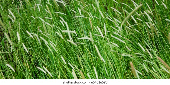 Field with a high Timothy grass with selective focus. Panoramic Nature Background of a green Phleum grass close up. Wide Screen Web banner With Copy Space