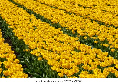 Field in Holland filled wit tulips