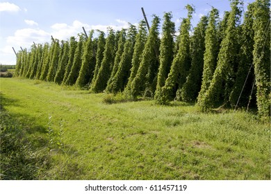 Field of hops in late summer, ready to be harvested and used for beer.