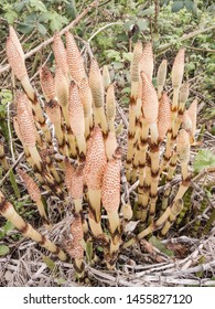 Field horsetail  (Equisetum arvense) is an herbaceous perennial plant in the Equisetopsida (the horsetails), native throughout the arctic and temperate regions of the northern hemisphere.