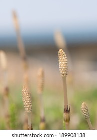 Field horsetail of the spring field