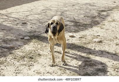 Field hound dog, nature and animals