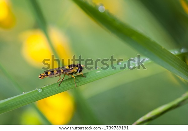 Field hover fly sits in the meadow on a blade of grass with drops of water.