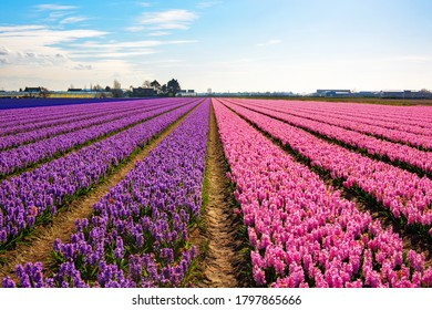 A field of Hyacinths near the town of Lisse, in the Netherlands