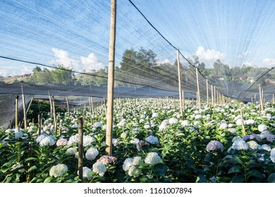 Field of hydrangeas, these beautiful flowers are grown in large tracts of land, here we appreciate crops in the mountains of Río Negro near Medellin in Colombia