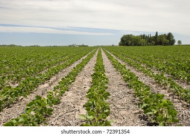Field with intensive farming of soybean at Santa Fe, Argentina