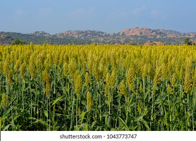 Field of Jowar Crop or Sorghum