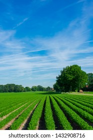 Field with juicy carrots in rows. Location: Germany, North Rhine-Westphalia, Borken