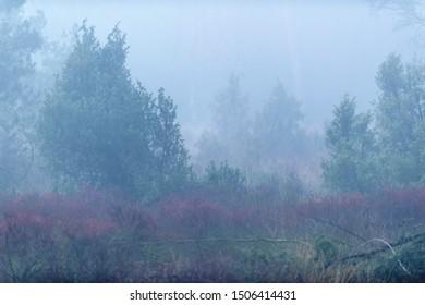 Field with juniper bushes in mist.