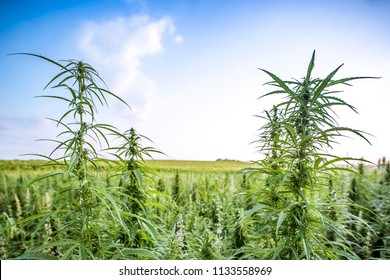 Field landscape with cannabis, used for medical treatment of fatal diseases like cancer, smoking for fun causing addiction, and for industrial use like constructions, textile production, insulation.