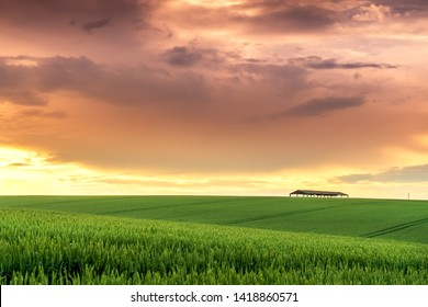 Field landscape on sunset. Farming field of wheat before harvest.