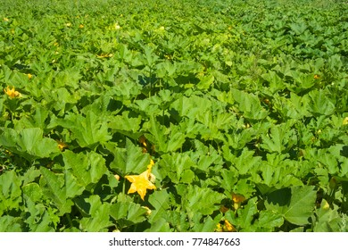 Field of large dark green pumpkin plant leaves with a yellow star shaped blossom in foreground