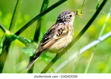 the field lark (Alauda arvensis) sits on a plant branch and eats seeds