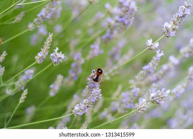 Field of lavender with close up the bee. Blur green and lavender background.