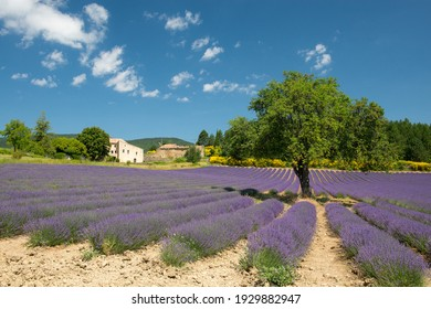 Field with lavender flowers and a tree in the provence in France