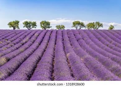 Field of lavender (lavandin) and almond alley on the horizon on the Plateau de Valensole, Verdon Regional Nature Park, Alpes-de-Haute-Provence, France
