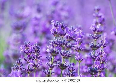 field lavender morning summer blur background wallpaper. shallow depth of field