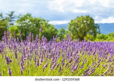 Field of lavender on sunny day at landscape of Provence, France