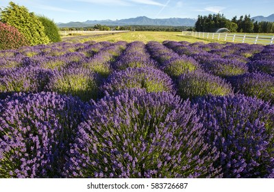 A field of lavender on a sunny fall day.