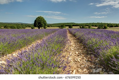 Field of lavender in Provence - Luberon (France)