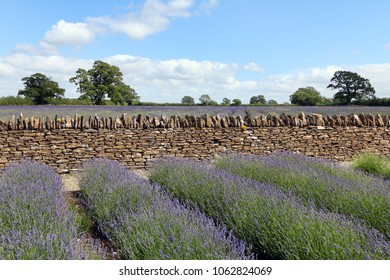 Field of Lavender with stone wall behind