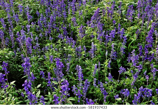 Field of lavender or violet or purple flowers with green leaves at closeup range.