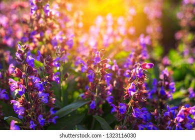 field of lilac flowers in the rays at sunset