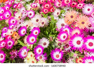 a field of Livingstone daisies