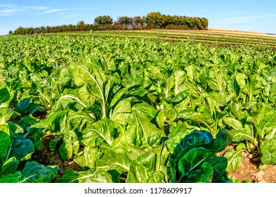 Field with long rows of Swiss chard plants.