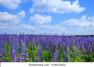 field of lupine flowers under blue sky.