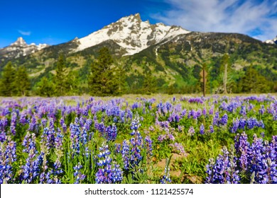 Field of lupines with the Grand Teton mountains in the background in Jackson Wyoming.