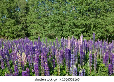 A field of lupines. Violet and pink lupin in meadow. Colorful bunch of lupines summer flower background or greeting card. Summer meadow with blooming lupins.