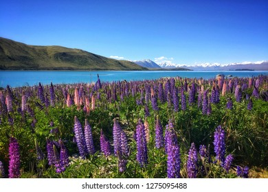 A field of lupins at Lake Tekapo, New Zealand with snowy mountains in the background.