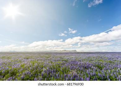 Field of lupins on a background of mountains under cloudy sky in Iceland