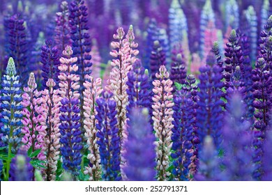 Field of Lupinus, commonly known as lupin or lupine