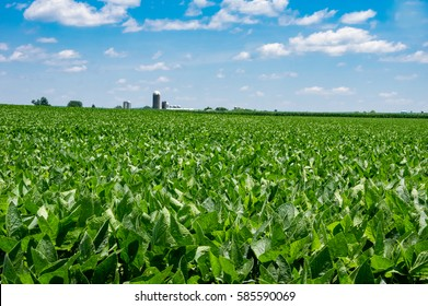A field of lush green soybeans.