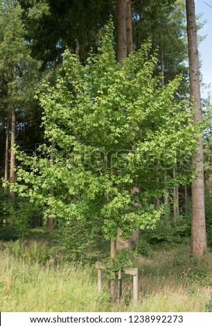 Field Maple Acer Campestre Elsrijk Woodland Stock Photo Edit Now