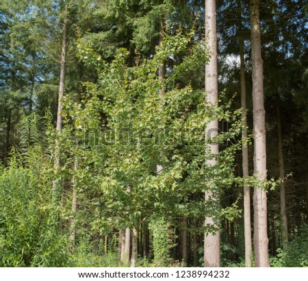 Field Maple Tree Acer Campestre Louisa Stock Photo Edit Now