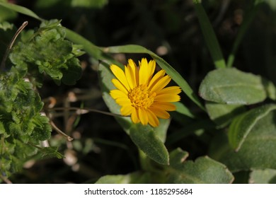 Field marigold or calendula arvensis flower bright yellow and very close to in a meadow in springtime in central Italy sometimes called Mary's gold after the Virgin Mary a companion plant for tomatoes