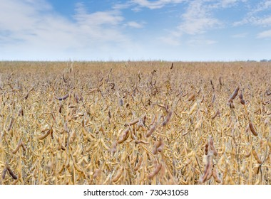 Field of the mature soybean on a background of the sky