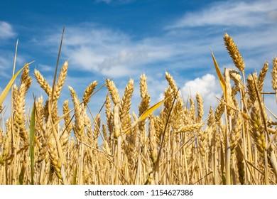 field of mature yellow wheat