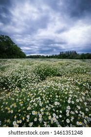 Field of mayweed growing wild Sweden