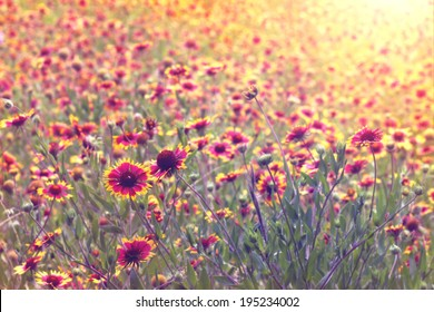 Field or meadow of Indian Blanket flowers blooming with vintage retro filter and sun flare