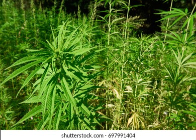 Field of medical hemp. Summer hemp field.