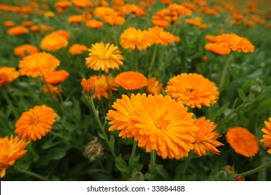 Field with a medicinal calendula