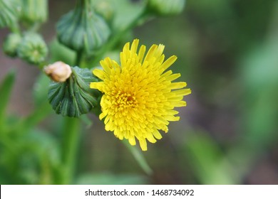 Field milk thistle or field sowthistle or perennial sow-thistle or corn sow thistle or dindle or gutweed or swine thistle or tree sow thistle (Sonchus arvensis) yellow flower close up