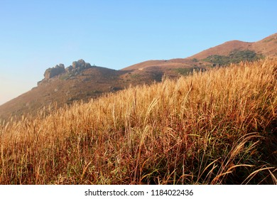 A field of Miscanthus, sliver grass at Sunset Peak in Hong Kong